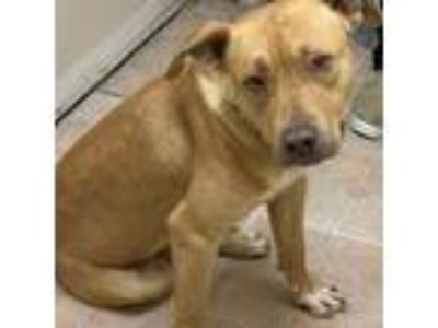 Adopt Daze (VIP) a Tan/Yellow/Fawn American Pit Bull Terrier / Mixed dog in