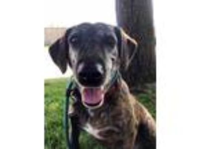 Adopt Giselle a Brown/Chocolate Plott Hound / Mixed dog in West Allis