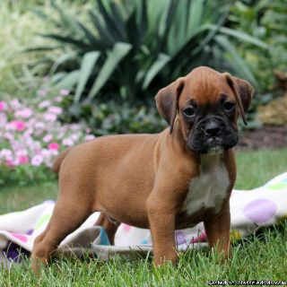 Adorable Boxer Puppies Available