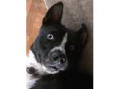 Adopt Blue a Black - with White Border Collie / Labrador Retriever dog in