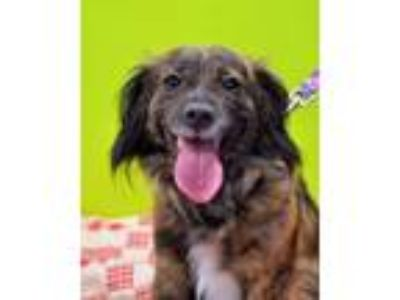 Adopt Snazzy Snickers a Spaniel, Mixed Breed