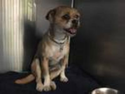 Adopt UNKNOWN a Tan/Yellow/Fawn - with White Brussels Griffon / Mixed dog in
