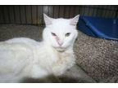 Adopt Nyle a Domestic Short Hair