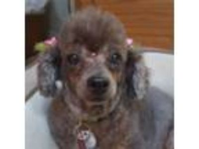 Adopt Believe a Poodle, Mixed Breed