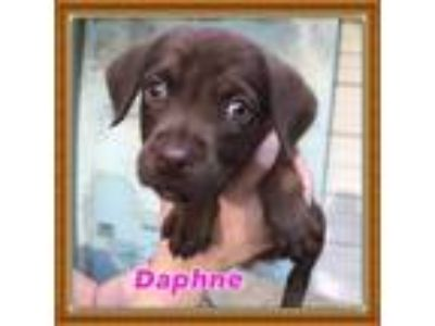 Adopt Daphne a Brown/Chocolate Feist / Beagle / Mixed dog in Little Rock
