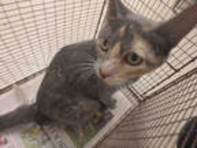Adopt BUBBLES a Tortoiseshell Domestic Shorthair / Mixed (short coat) cat in Los