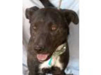 Adopt Max a Brindle - with White Shepherd (Unknown Type) / Mixed dog in Las
