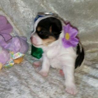 Yorkshire Terrier PUPPY FOR SALE ADN-96753 - ToyBox Puppies quotPreciousquot Parti Girl