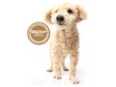 Adopt Walter a White Poodle (Miniature) / Mixed dog in Florence, KY (23109390)