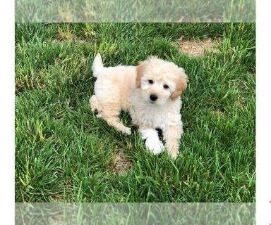 Golden Retriever-Poodle (Toy) Mix PUPPY FOR SALE ADN-129872 - Mini Goldendoodle Puppy Calvin
