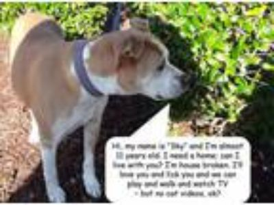 Adopt Sky a Pit Bull Terrier