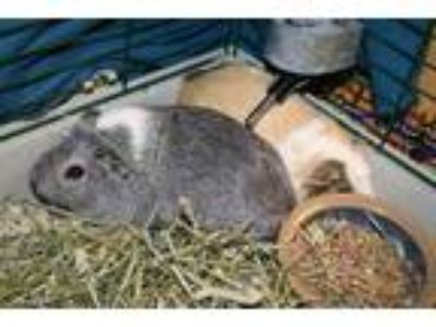 Adopt Chloe a Silver or Gray Guinea Pig / Guinea Pig / Mixed small animal in