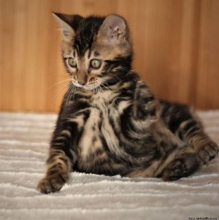 bengal shorthair kitten