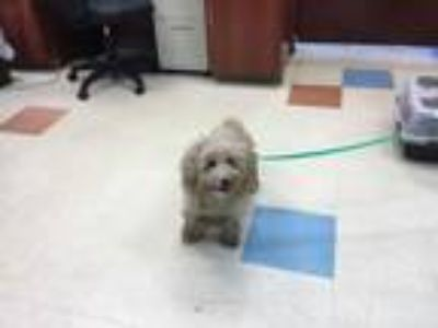 Adopt Milly a Poodle