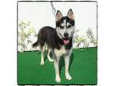 Adopt BARLOW a Black - with White Siberian Husky / Husky / Mixed dog in