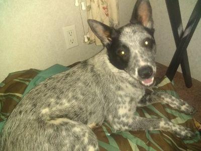 Pure bred blue heeler puppy
