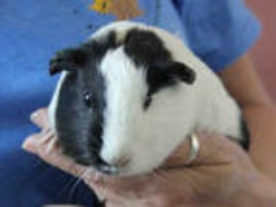 Adopt a Black Guinea Pig / Mixed small animal in San Jose, CA (25307439)