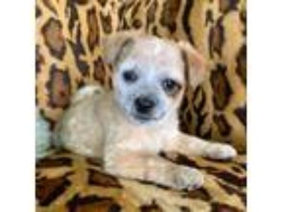 Adopt Sugar Bear a Mixed Breed, Terrier