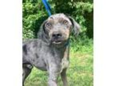 Adopt Blueberry a Black - with White Australian Shepherd / Catahoula Leopard Dog