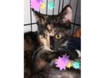 Adopt Candy a Calico or Dilute Calico Domestic Shorthair (short coat) cat in