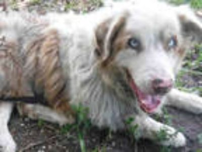 Adopt SPARX a Brown/Chocolate - with White Australian Shepherd / Mixed dog in
