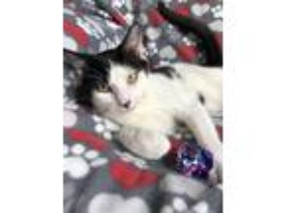 Adopt PT Barnum a Domestic Short Hair