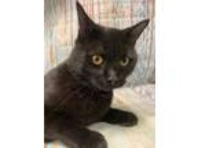 Adopt Alby a All Black Domestic Shorthair / Domestic Shorthair / Mixed cat in