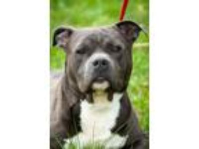 Adopt Bulldozer a Pit Bull Terrier