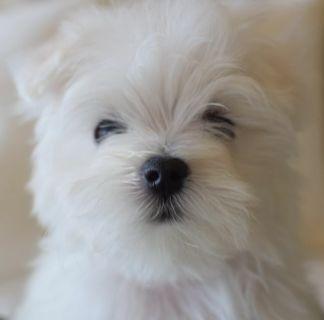 Maltese PUPPY FOR SALE ADN-114325 - Maltese Puppy 9 Weeks Old