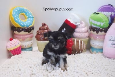 Morkie PUPPY FOR SALE ADN-104711 - Morkie  Sprouts  Male