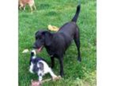 Adopt Ruby a Black - with White Beagle / Mixed dog in Winder, GA (13934731)