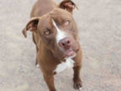 Adopt *LELAND a Brown/Chocolate - with White American Staffordshire Terrier /