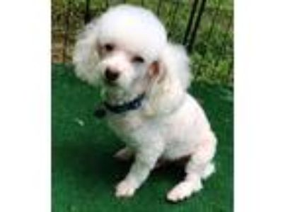 Adopt Nico a White Poodle (Toy or Tea Cup) / Mixed dog in Dover, MA (13548852)