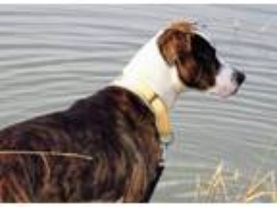 Adopt Charlie William a Plott Hound, Pointer