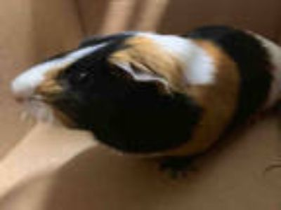Adopt HULK a Black Guinea Pig / Mixed small animal in Baldwin Park