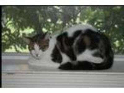 Adopt Bixby a Domestic Short Hair