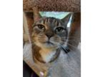 Adopt Sox a Gray, Blue or Silver Tabby Domestic Shorthair (short coat) cat in