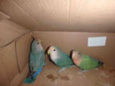 Adopt a Green Parrot - Other / Mixed bird in Los Angeles, CA (25830803)