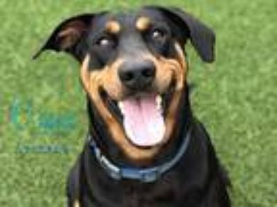 Adopt *HATTIE a Tricolor (Tan/Brown & Black & White) Doberman Pinscher /