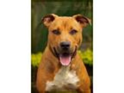 Adopt Mater a Red/Golden/Orange/Chestnut Labrador Retriever / Pit Bull Terrier /