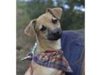 Adopt Harvey a Miniature Pinscher, Toy Fox Terrier