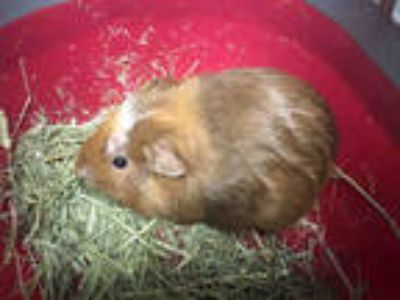 Adopt GUINEA a Brown or Chocolate Guinea Pig / Mixed small animal in Las Vegas