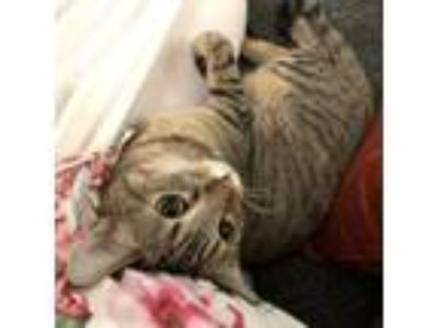 Adopt Penelope a Brown or Chocolate Domestic Shorthair cat in Los Angeles