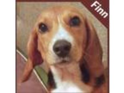Adopt Finn a Brown/Chocolate - with White Beagle dog in Palatine, IL (25943740)