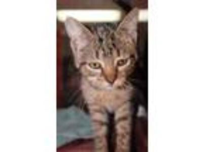 Adopt Rory a Gray or Blue Domestic Shorthair / Domestic Shorthair / Mixed cat in