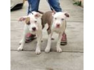 Adopt Griffin and Suzie a Pit Bull Terrier