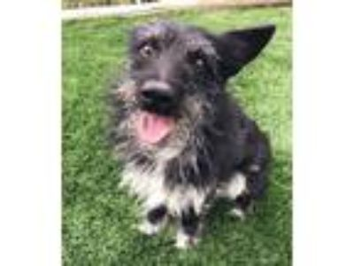 Adopt Rascal a Black Terrier (Unknown Type, Small) dog in Sedalia, CO (25579967)