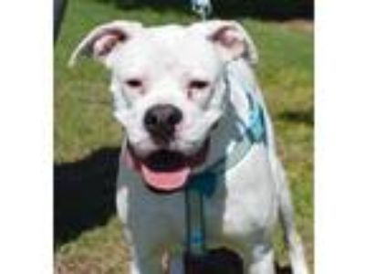 Adopt Belle a White Boxer / Mixed Breed (Large) / Mixed dog in Seabrook