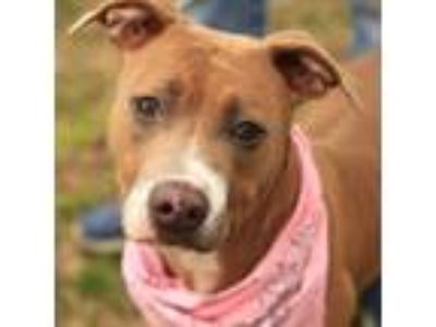 Adopt Patty a Brindle American Pit Bull Terrier dog in Evansville, IN (25305713)