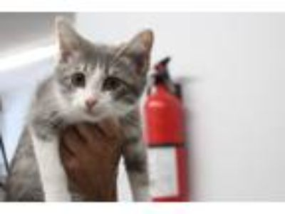 Adopt Phill a Gray or Blue (Mostly) Domestic Shorthair (short coat) cat in Reeds